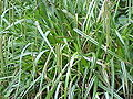 Carex pendula1.jpg