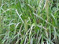Carex pendula1