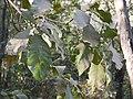 Careya arborea (8503301224).jpg