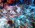Caribbean Spiny Lobster 4 - Blackbird Caye - Belize 2016 (24500510409).jpg