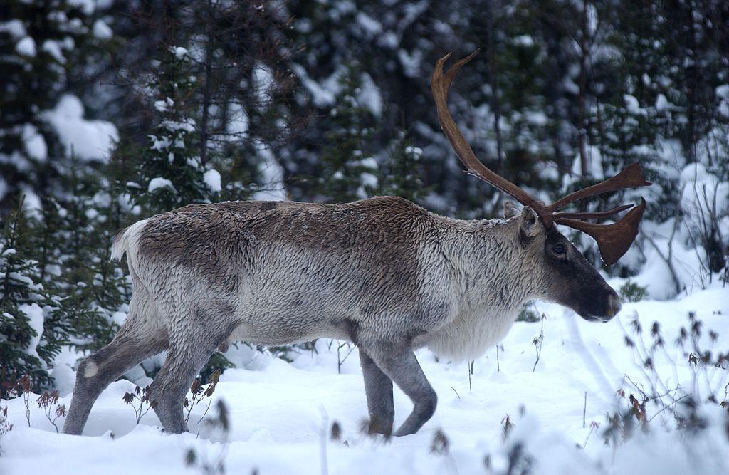 Datei:Caribou dans la taiga.jpg – Wikipedia