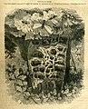 Carpenter ants and their nest (16307524345).jpg