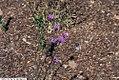 Carphephorus bellidifolius 1zz.jpg