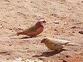Carpodacus synoicus -Jordan -pair-8.jpg