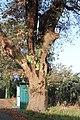 Carvalho-roble situado no lugar da Carvalheira, Guimarei - 08.jpg