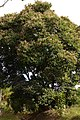 Casco de buey (Bauhinia picta) (15425883487).jpg