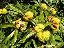 Cupole (ricci) di Castanea sativa aperte e frutti