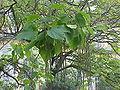 Catalpa bignonioides1.jpg