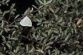 Catopsilia pomona (43488091690).jpg