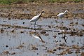 Cattle Egret (33944304933).jpg