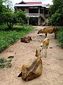 Cattle in Driveway - Outside Stung Treng - Cambodia (48429009037).jpg