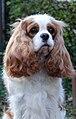 Cavalier King Charles Spaniel.jpg