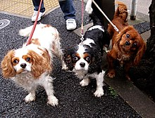 """Three dogs of the same breed on leads, each is a different colour. The left dog is mostly white with brown markings, the centre one is black and white with brown eyebrows, and the dog on the right side is a deep shade of ruby red."""