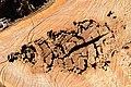 Cavités dans des bûches de peuplier blanc (65).JPG