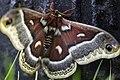 Cecropia moth (18200158320).jpg