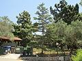 Cedar tree in Kibbutz Hanita.JPG