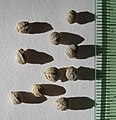 Celtis africana seeds, by Omar Hoftun.jpg