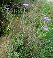 Centaurea jacea ssp. jacea L. (7794028230).jpg