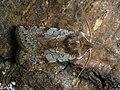 Cerastis rubricosa - Red chestnut - Весенняя совка красноватая (41079559541).jpg