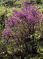 Cercis siliquastrum - Erguvan 04.jpg