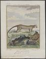 Cercoleptes caudivolvulus - 1700-1880 - Print - Iconographia Zoologica - Special Collections University of Amsterdam - UBA01 IZ22600185.tif
