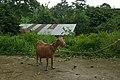 Chèvre à Monte Café (São Tomé).jpg