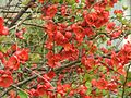 Chaenomeles flowers in full bloom.jpg