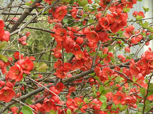 Chaenomeles flowers in full bloom