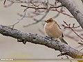 Chaffinch (Fringilla coelebs) (50747492571).jpg