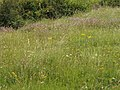 Chalk downland grasses and flowers - geograph.org.uk - 512534.jpg