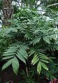 Chamaedorea microspadix kz1.jpg