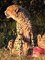 Cheetah, Acinonyx jubatus, at Pilanesberg National Park, Northwest Province, South Africa. (26976113484).jpg