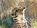 Cheetah (6521902917).jpg