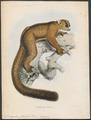 Cheirogaleus furcifer - 1868 - Print - Iconographia Zoologica - Special Collections University of Amsterdam - UBA01 IZ19700028.tif
