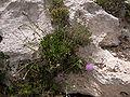 Cheirolophus crassifolius Malta Dingli Cliffs 07.jpg