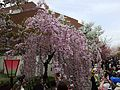 """Cherry-Blossom-Viewing through the """"Tunnel"""" at Japan Mint in 201504 017.JPG"""