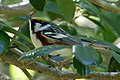 Chestnut-sided Warbler (male) Sabine Woods High Island TX 2018-04-26 14-04-22 (41190403315).jpg