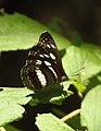 Chestnut-streaked Sailer Neptis jumbah UN by Dr. Raju Kasambe DSCN4797 (1).jpg