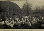 Chicks, hatching and rearing; (1907) (20578786436).jpg