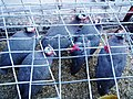 Chiken sellers sell horned birds - panoramio.jpg