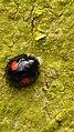 Chilocorus renipustulatus Kidneyspot Ladybird 1.jpg