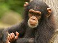 Chimpanzee VIII (13945323981).jpg