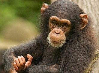 Wildlife of Guinea - Western chimpanzee