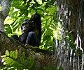 Chimpanzees of Kibale National Park.jpg