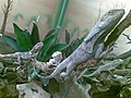 Chlamydosaurus kingii and Pogona vitticeps.jpg