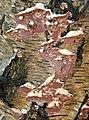 Chondrostereum purpureum – Silverleaf fungus on Birch - Flickr - gailhampshire.jpg