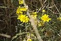 Chrysanthemum segetum-4492.jpg
