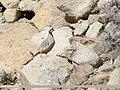 Chukar Partridge (Alectoris chukar) (42715183315).jpg
