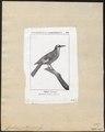 Cinclodes patagonicus - 1700-1880 - Print - Iconographia Zoologica - Special Collections University of Amsterdam - UBA01 IZ19200115.tif