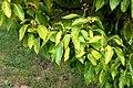 Cinnamomum camphora in Auckland Botanic Gardens 05.jpg
